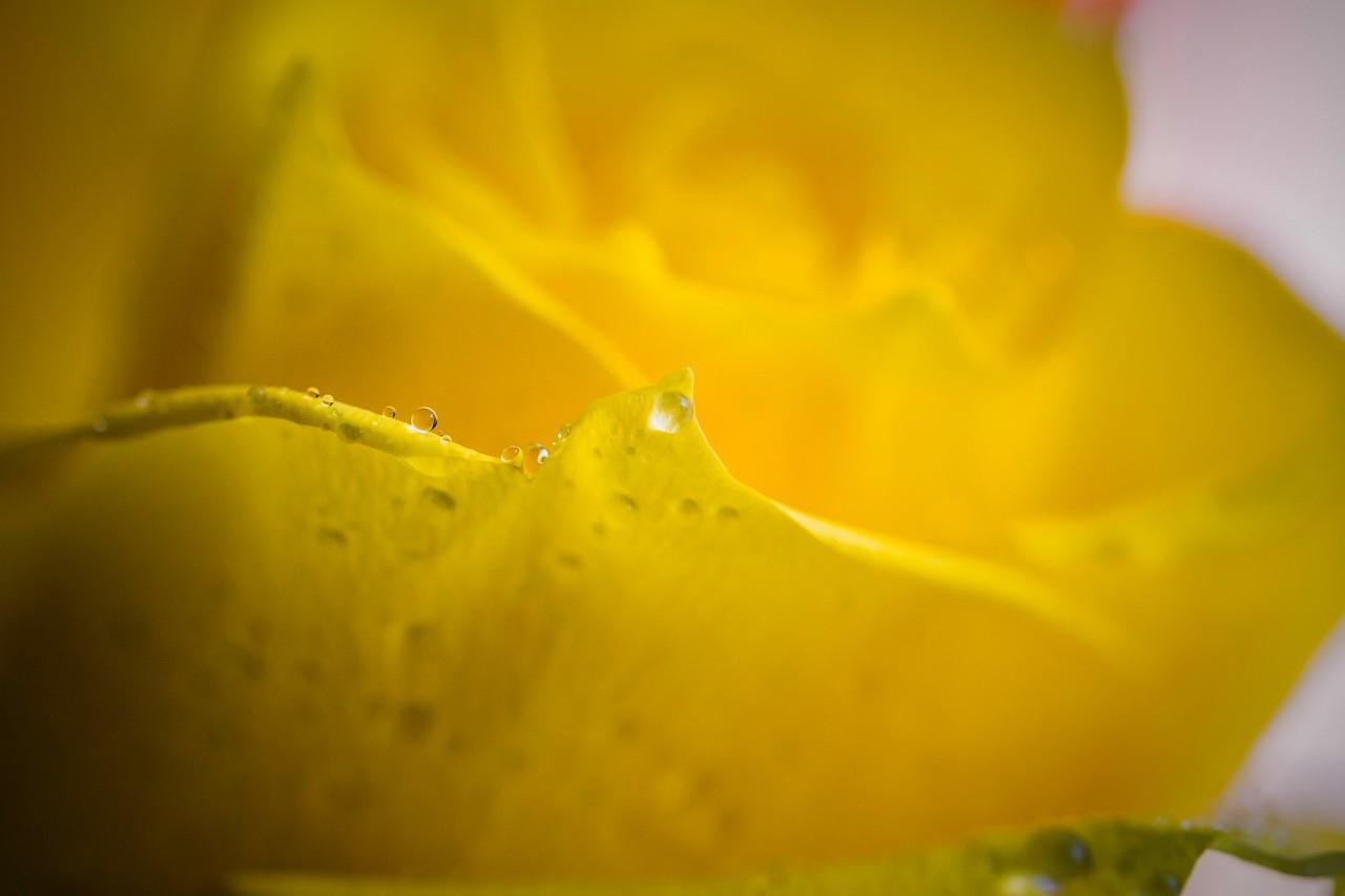 玫瑰花,母亲节最爱_图1-5