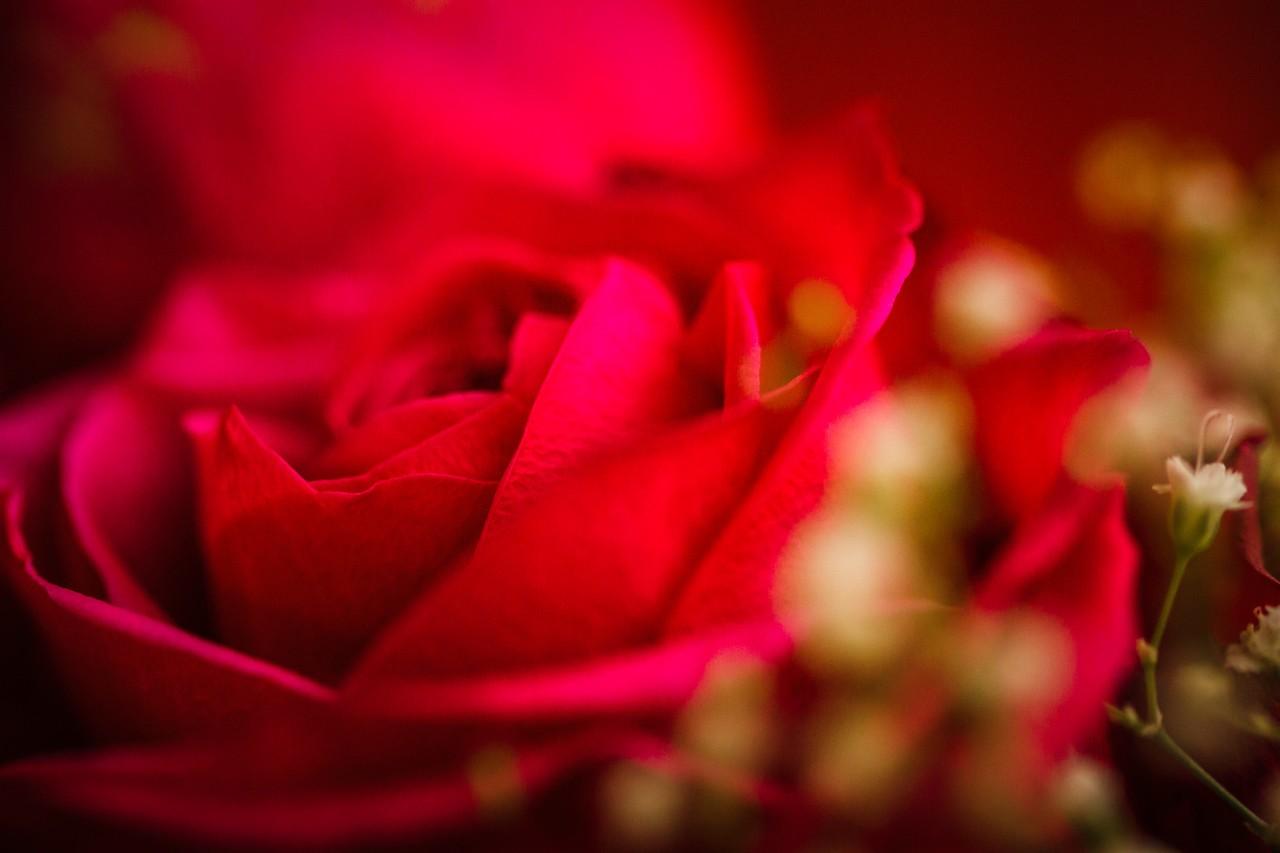 玫瑰花,母亲节最爱_图1-8