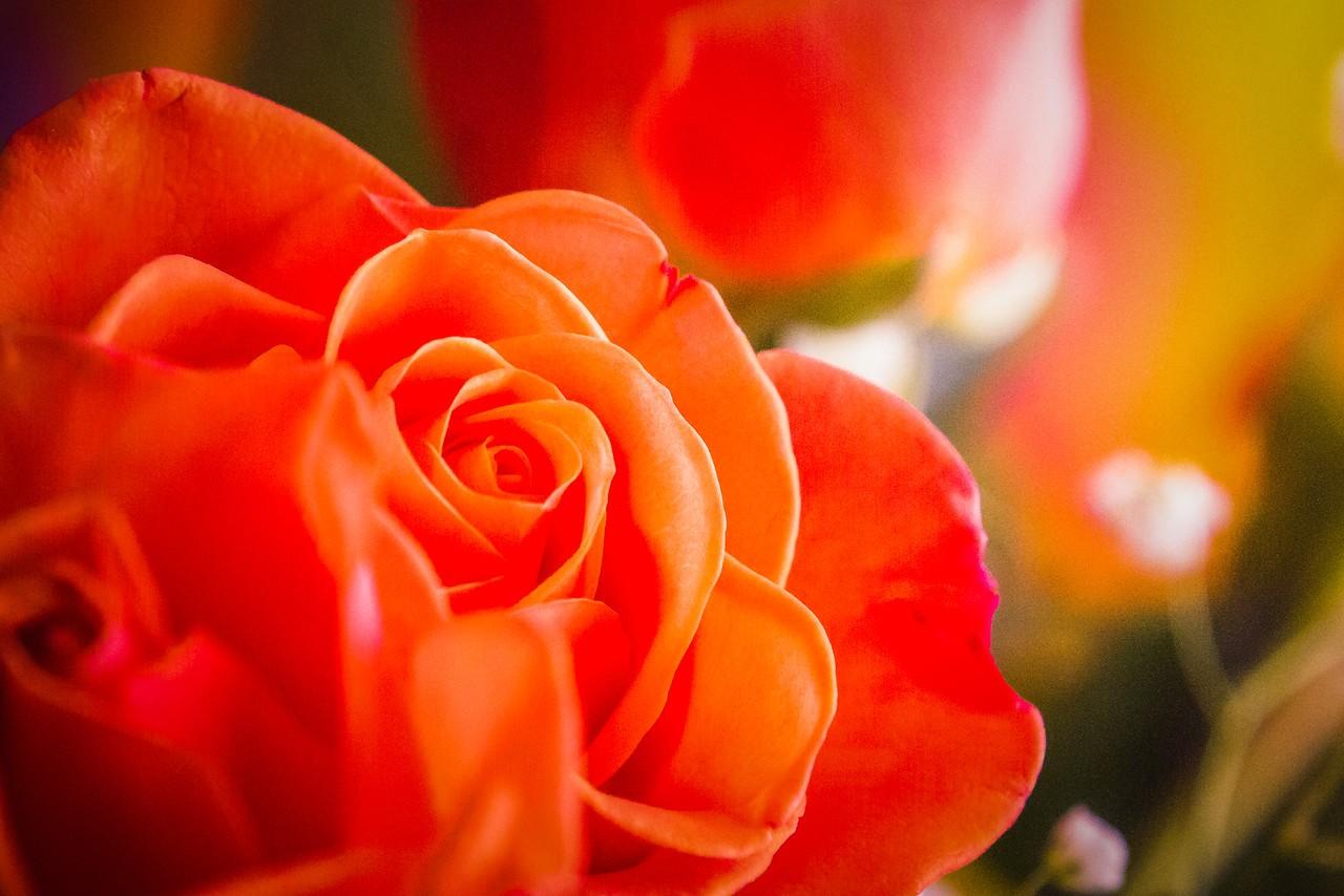 玫瑰花,母亲节最爱_图1-11