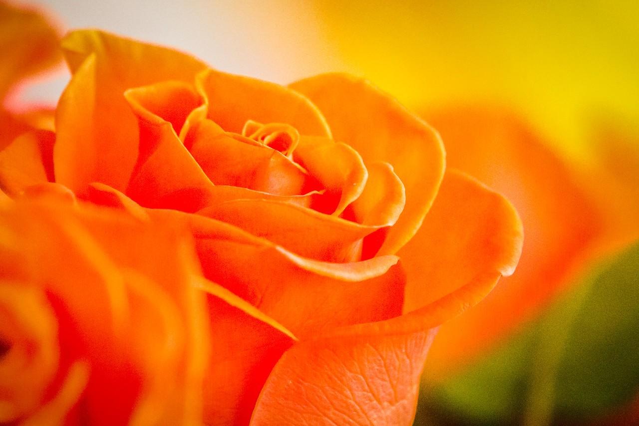 玫瑰花,母亲节最爱_图1-4