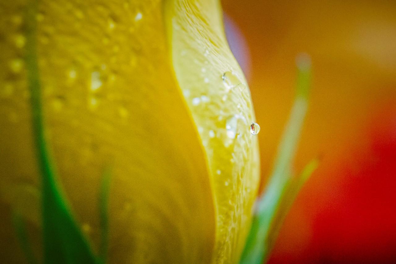 玫瑰花,母亲节最爱_图1-13