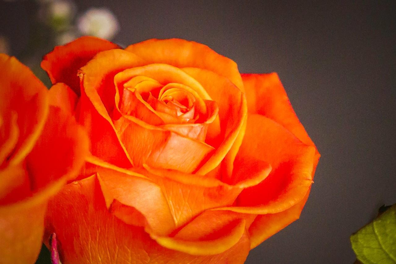玫瑰花,母亲节最爱_图1-14