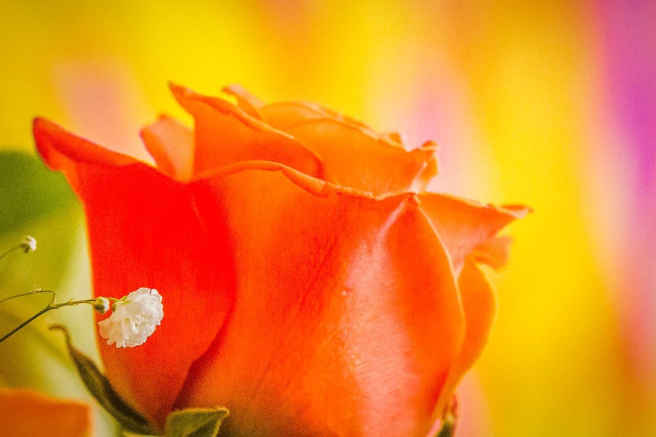 玫瑰花,母亲节最爱_图1-15