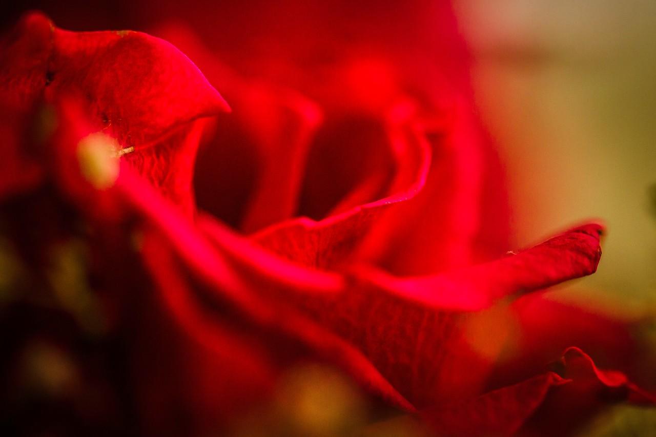 玫瑰花,母亲节最爱_图1-16