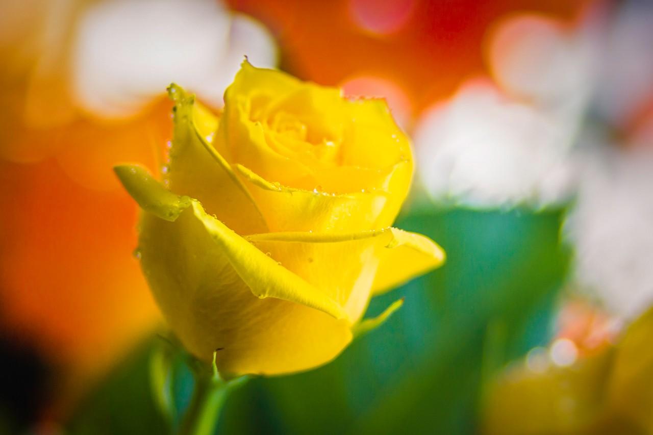 玫瑰花,母亲节最爱_图1-24