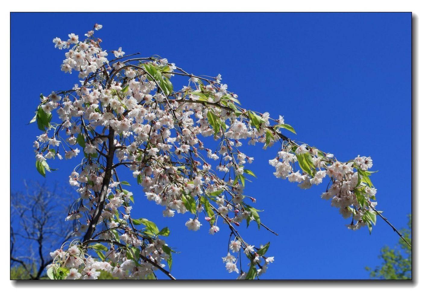 春花一组_图1-16