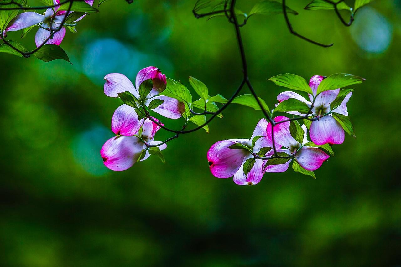 四照花,熟悉而陌生_图1-1