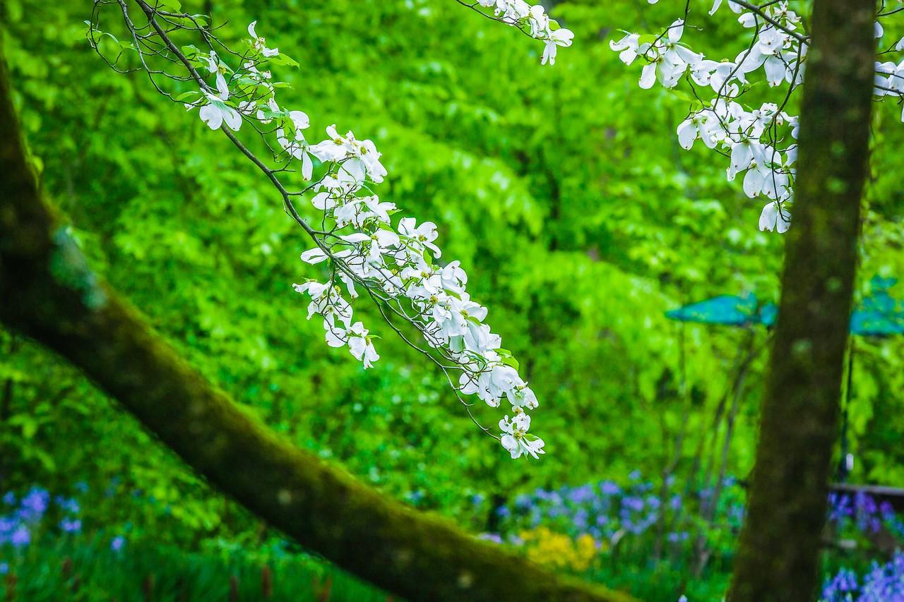 四照花,熟悉而陌生_图1-2