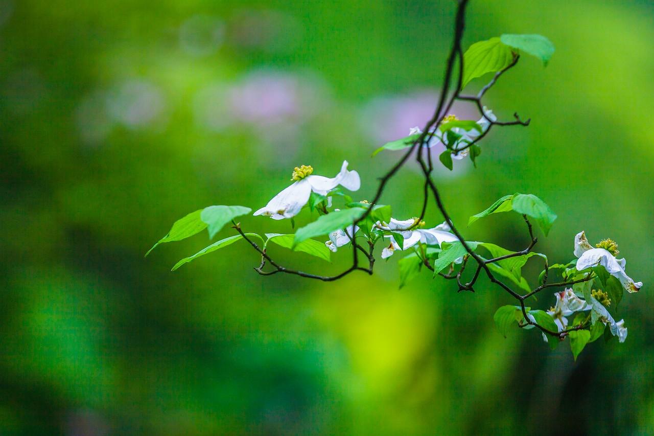 四照花,熟悉而陌生_图1-3