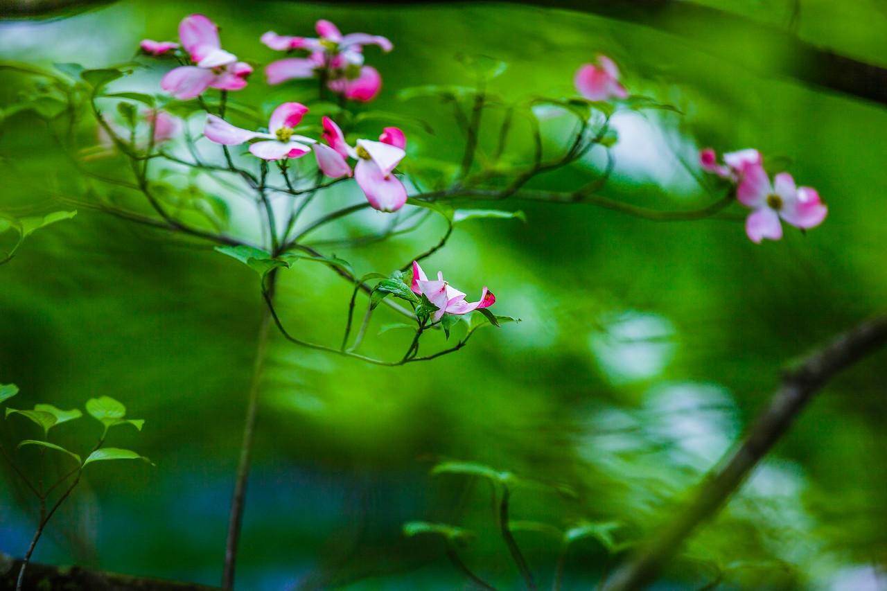 四照花,熟悉而陌生_图1-4