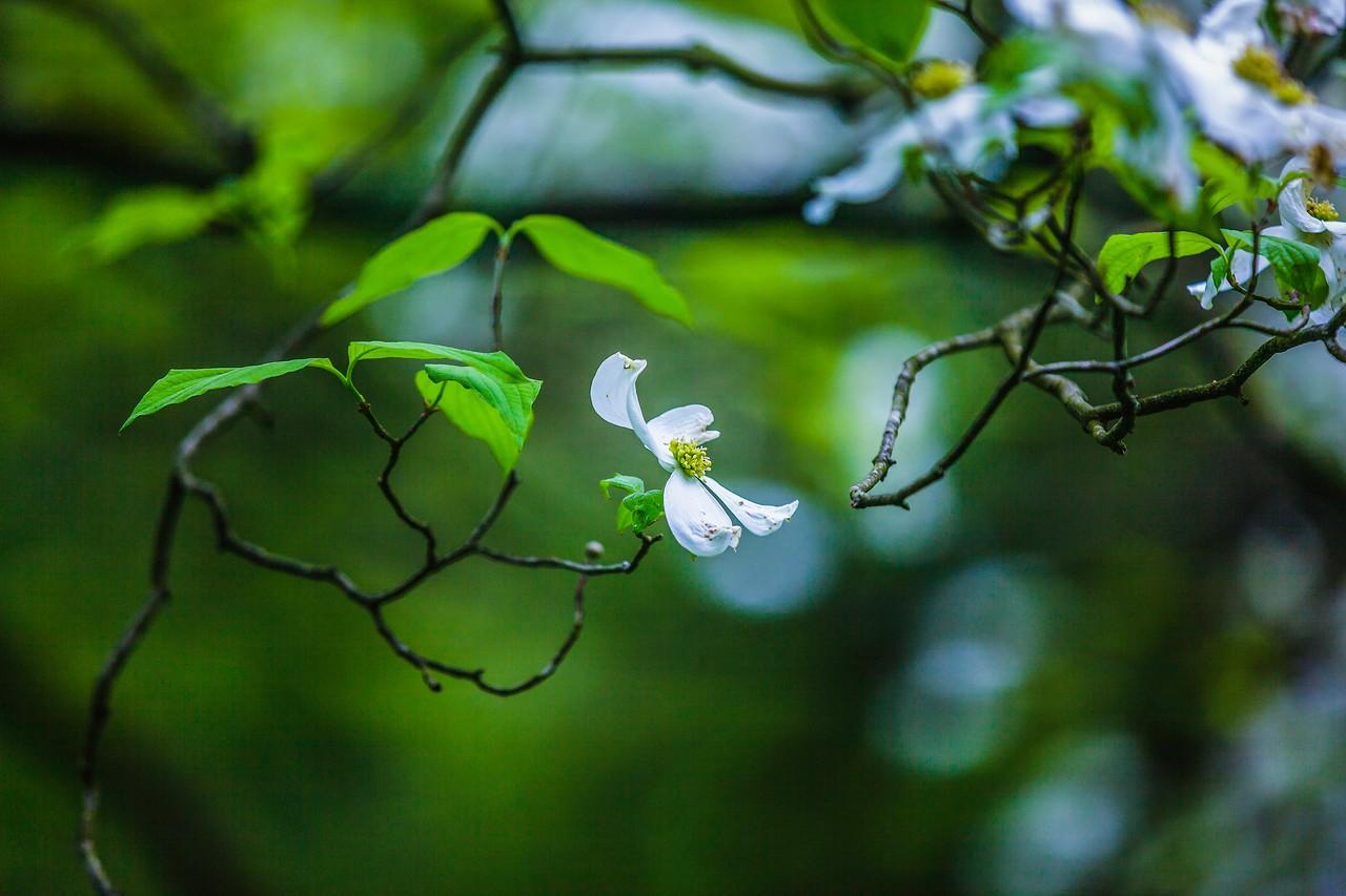 四照花,熟悉而陌生_图1-8