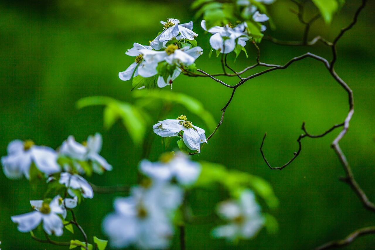 四照花,熟悉而陌生_图1-5