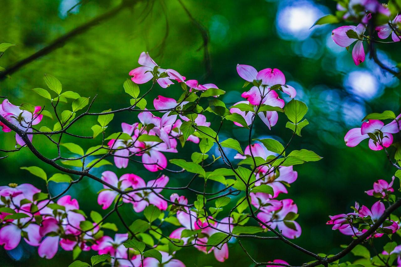 四照花,熟悉而陌生_图1-7
