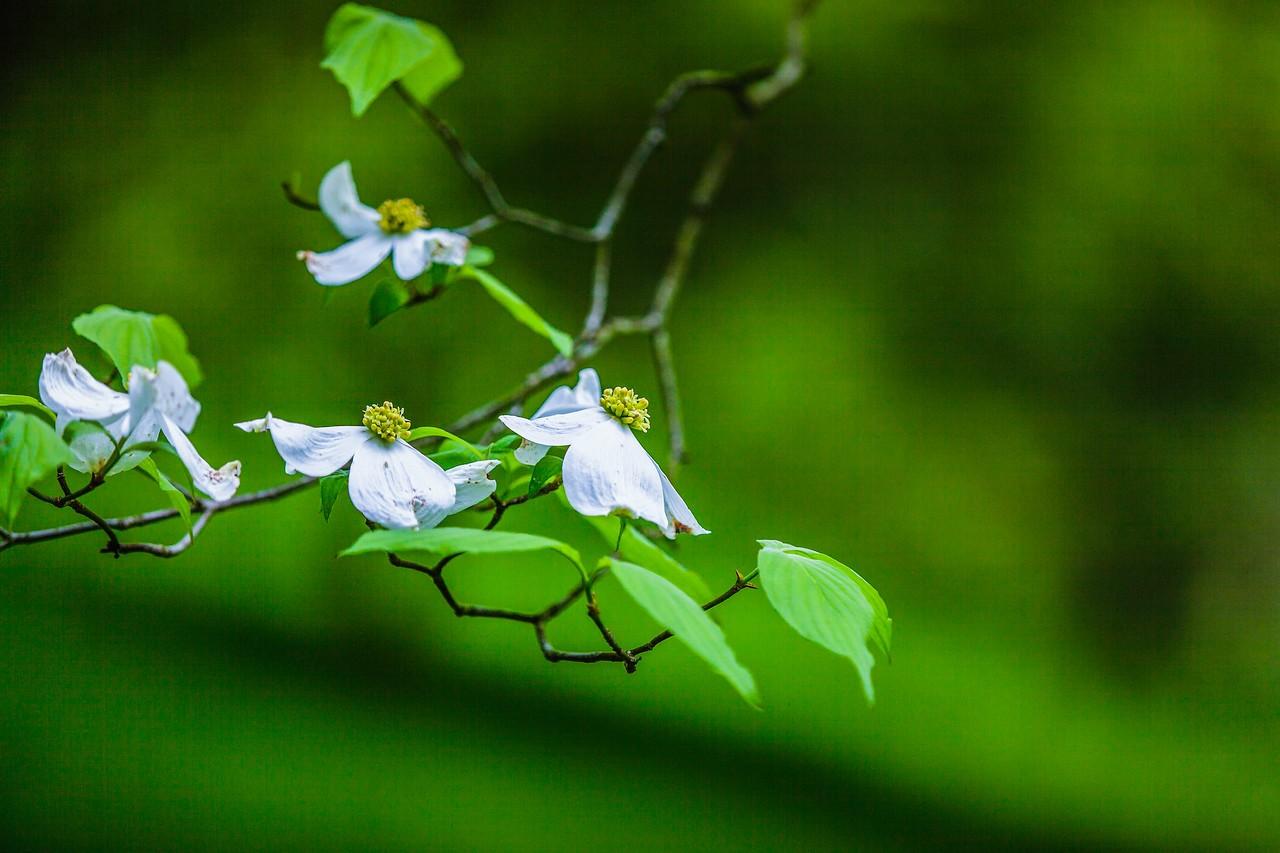 四照花,熟悉而陌生_图1-10