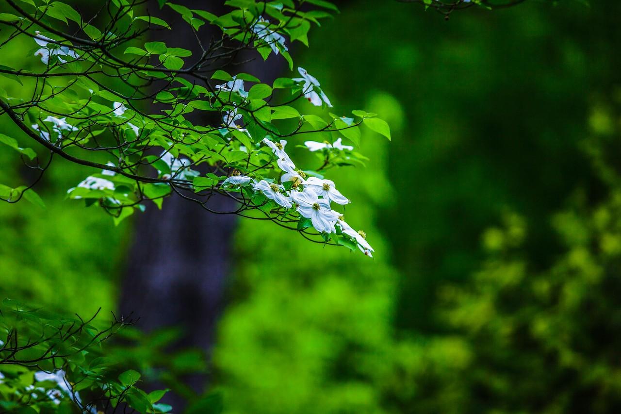 四照花,熟悉而陌生_图1-6