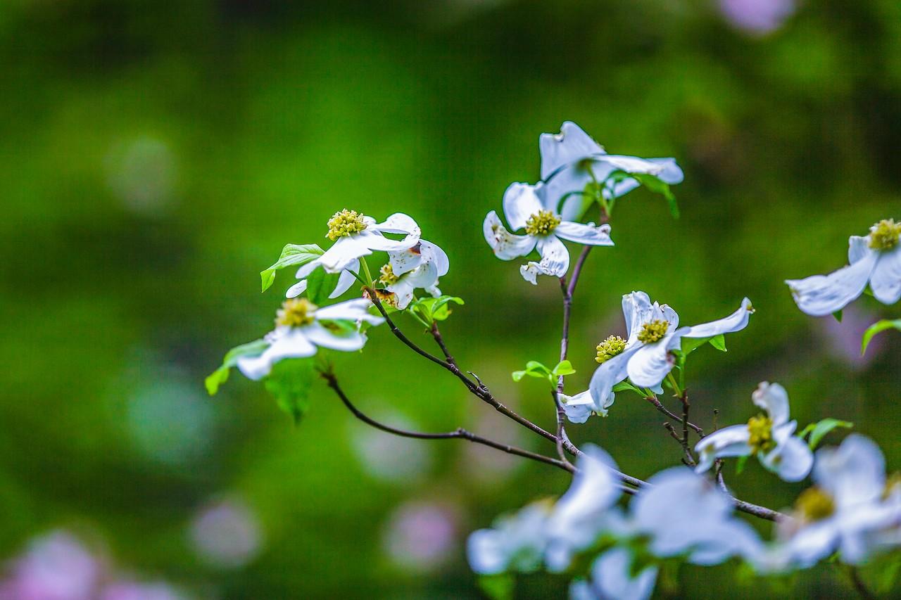 四照花,熟悉而陌生_图1-12