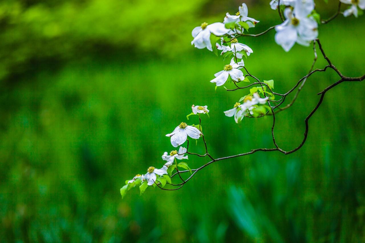 四照花,熟悉而陌生_图1-13