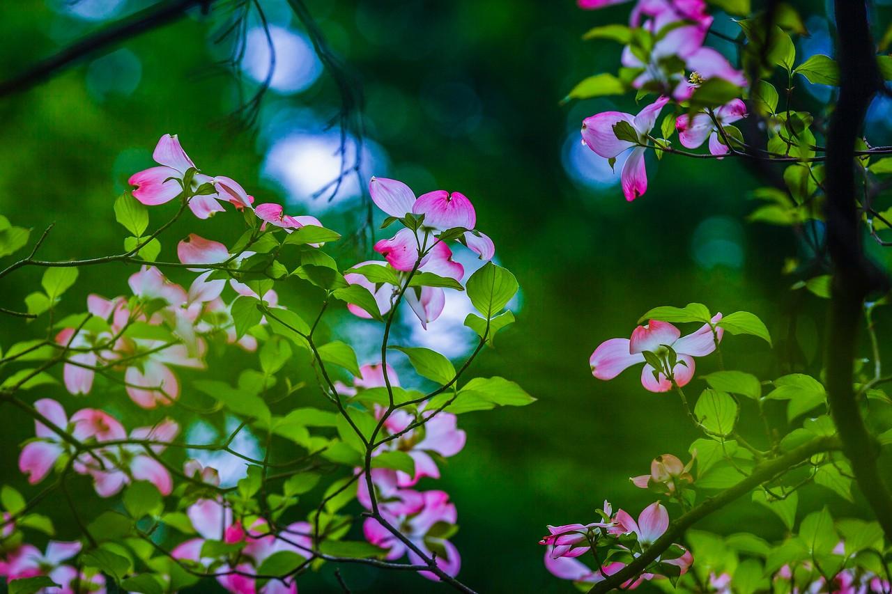 四照花,熟悉而陌生_图1-16