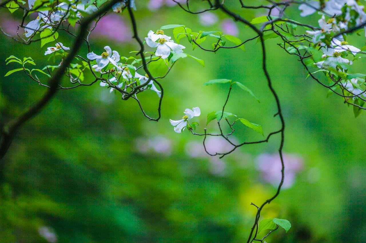 四照花,熟悉而陌生_图1-14
