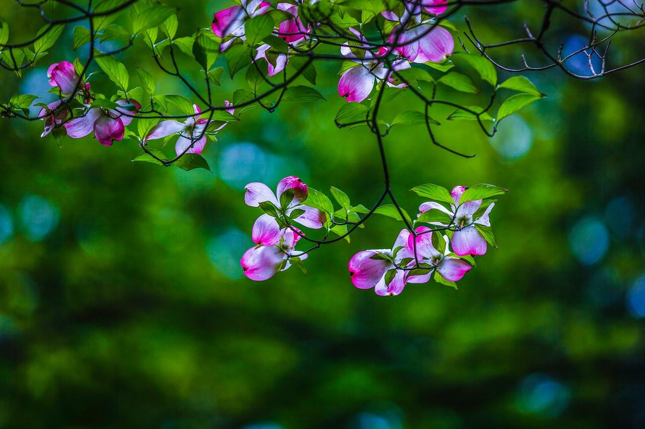 四照花,熟悉而陌生_图1-11