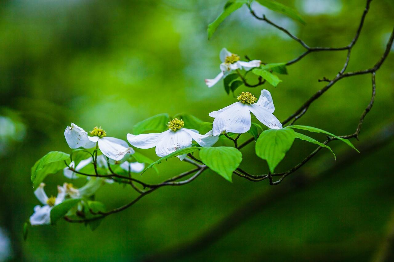 四照花,熟悉而陌生_图1-18