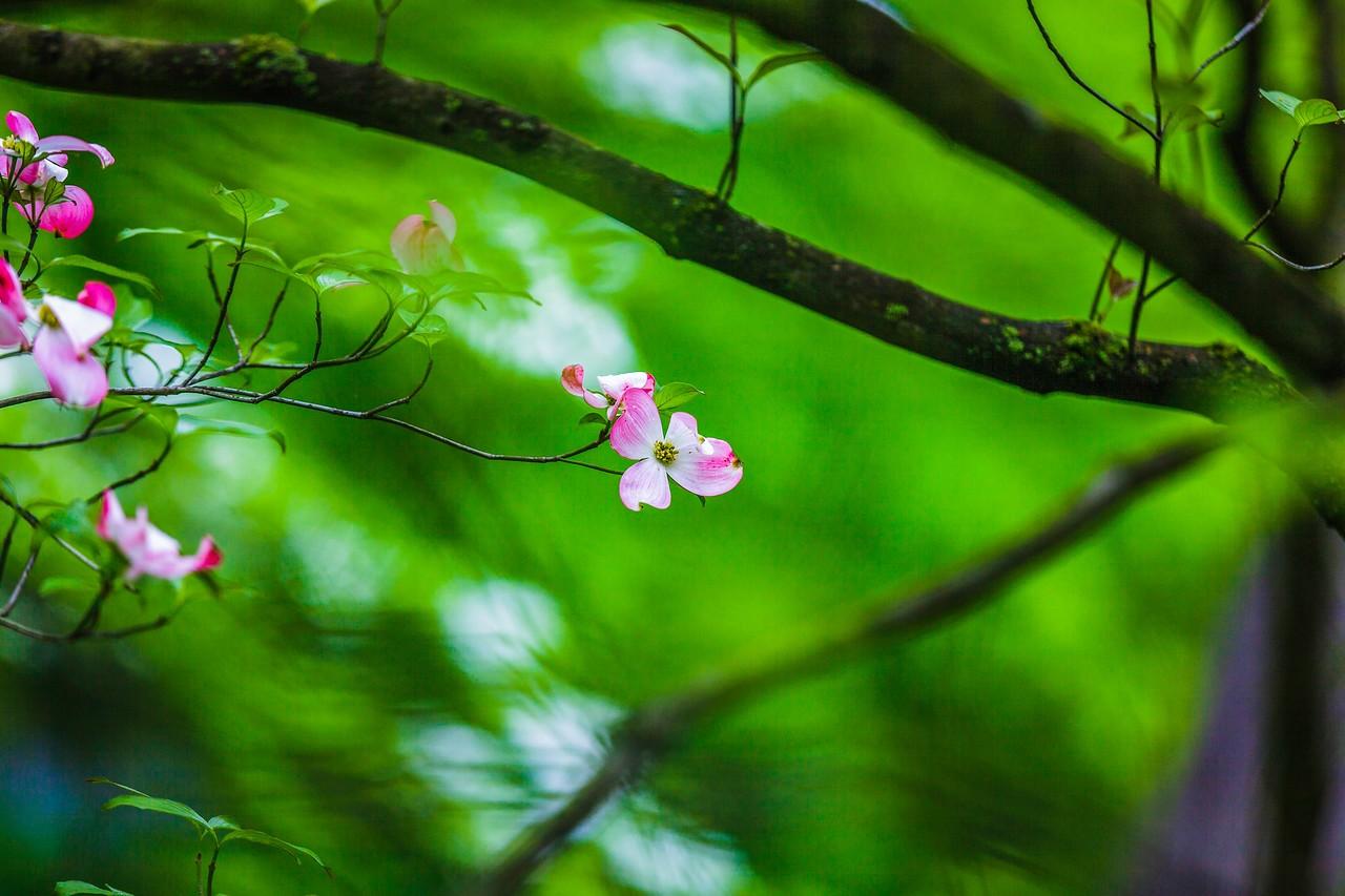 四照花,熟悉而陌生_图1-19