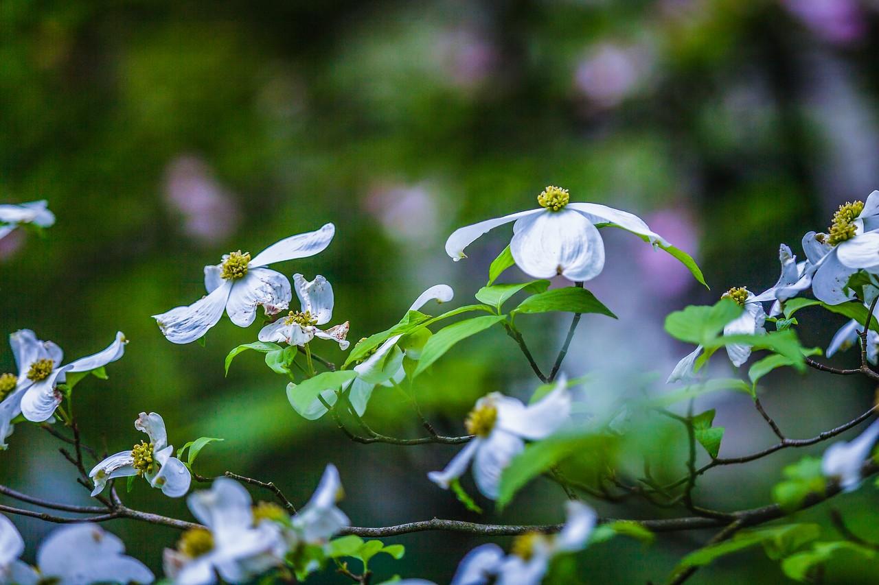 四照花,熟悉而陌生_图1-17