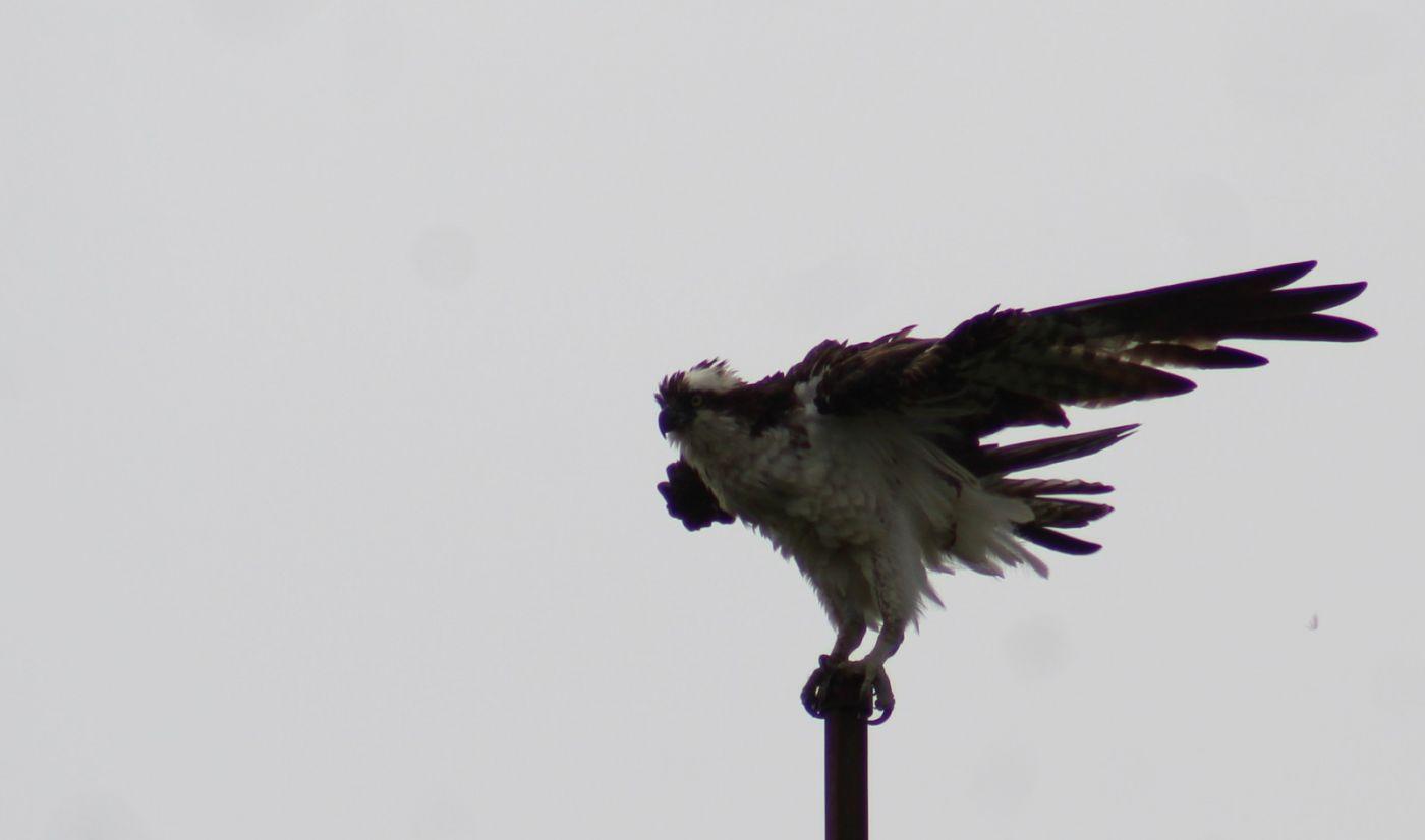 学拍鱼鹰_图1-16