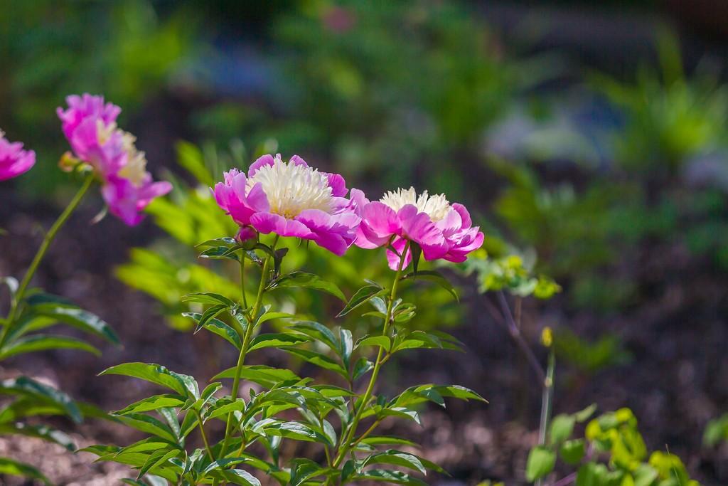 牡丹花,绽开它的笑脸_图1-18