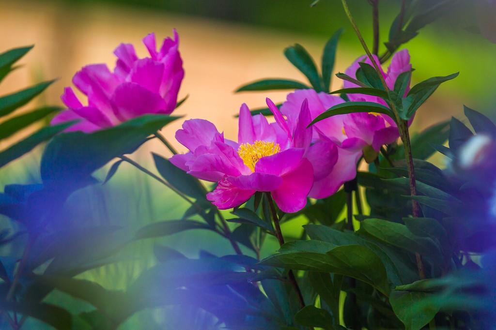 牡丹花,绽开它的笑脸_图1-17