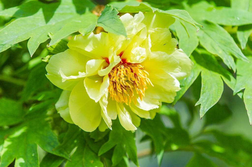 牡丹花,绽开它的笑脸_图1-13