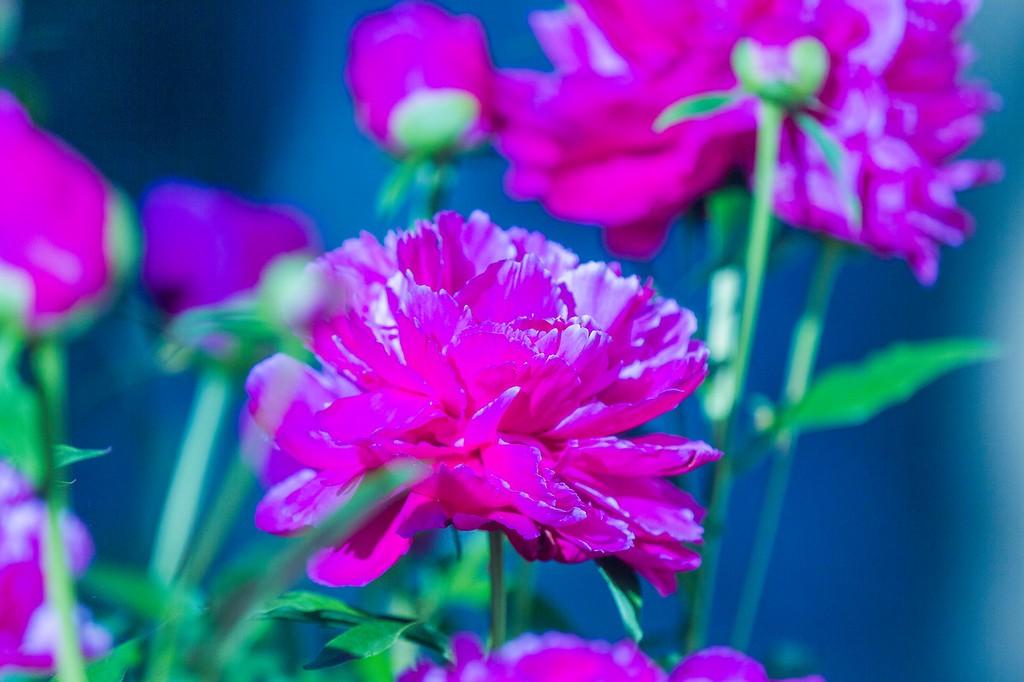 牡丹花,绽开它的笑脸_图1-14
