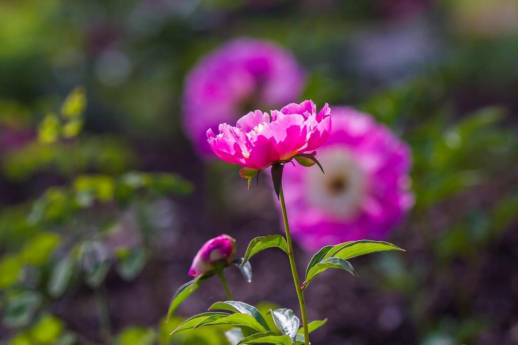 牡丹花,绽开它的笑脸_图1-15