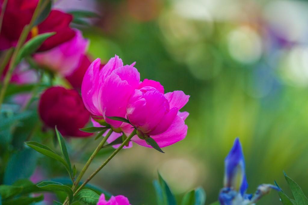 牡丹花,绽开它的笑脸_图1-10