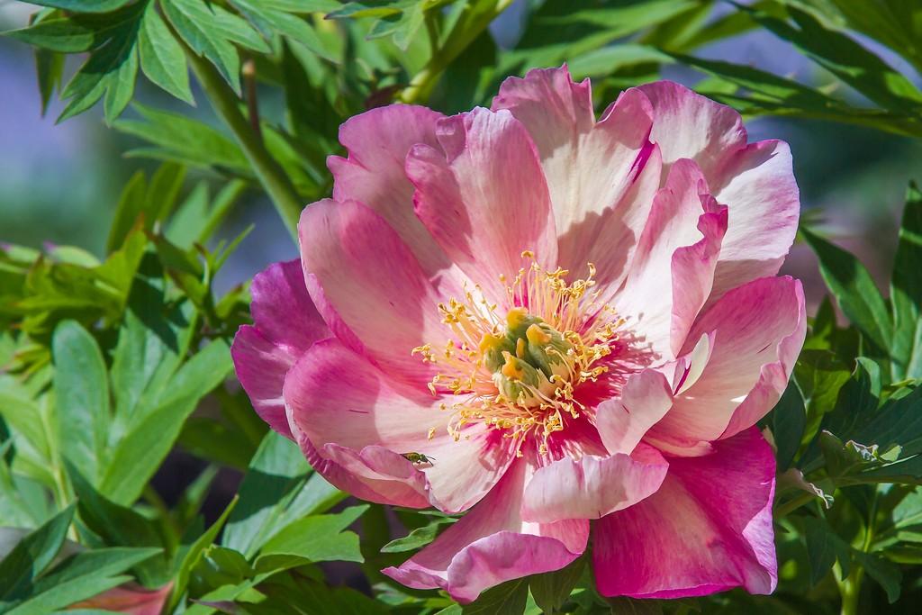 牡丹花,绽开它的笑脸_图1-11