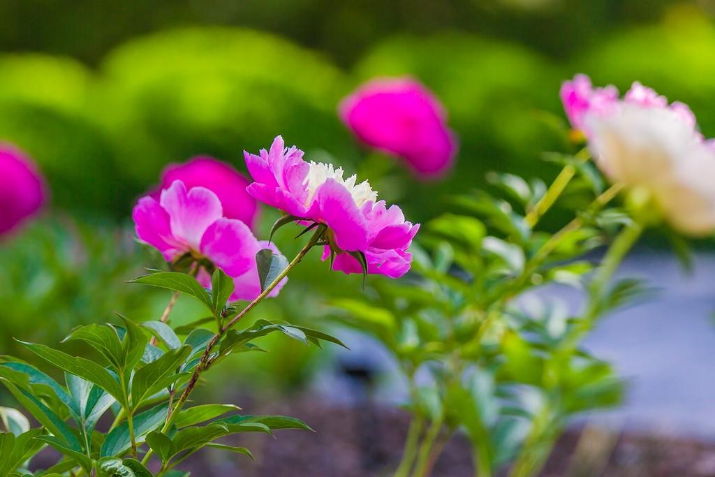 牡丹花,绽开它的笑脸_图1-20