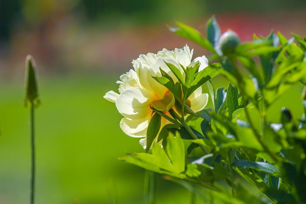 牡丹花,绽开它的笑脸_图1-9