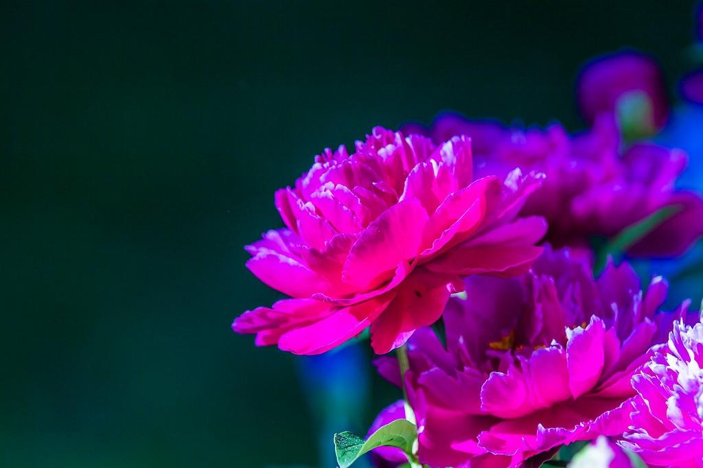 牡丹花,绽开它的笑脸_图1-12
