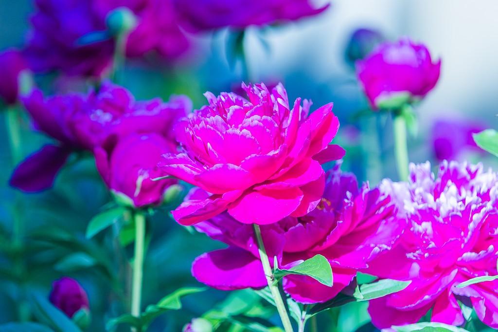 牡丹花,绽开它的笑脸_图1-5