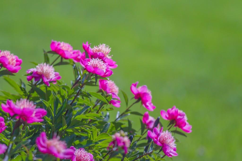 牡丹花,绽开它的笑脸_图1-6