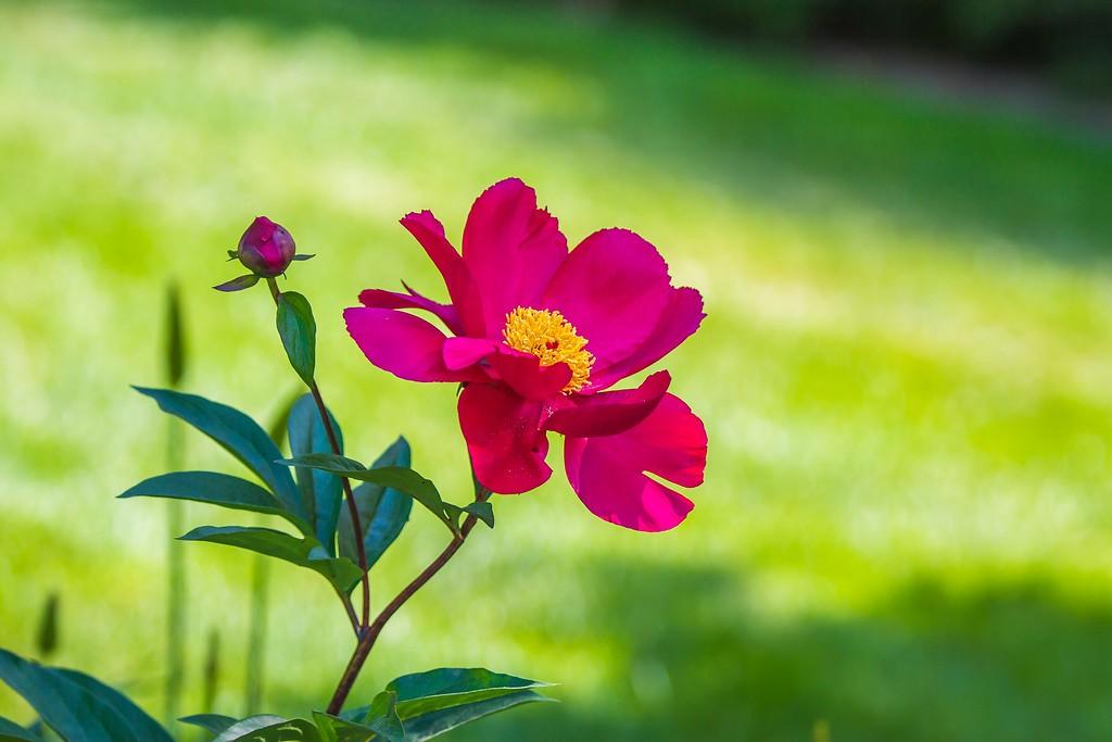 牡丹花,绽开它的笑脸_图1-7
