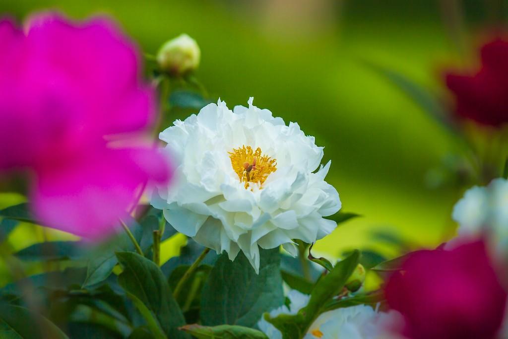 牡丹花,绽开它的笑脸_图1-8