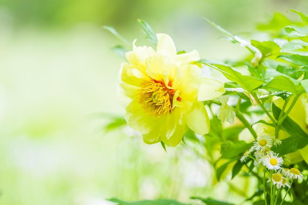 牡丹花,绽开它的笑脸_图1-4