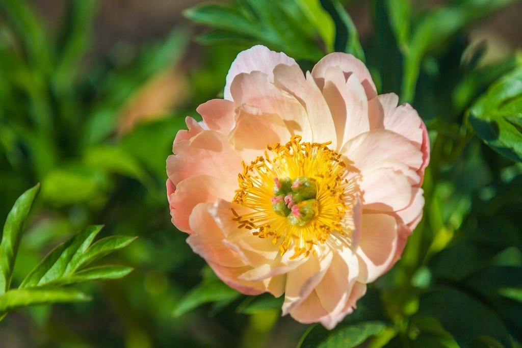 牡丹花,绽开它的笑脸_图1-2