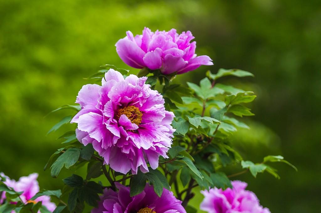 牡丹花,绽开它的笑脸_图1-1