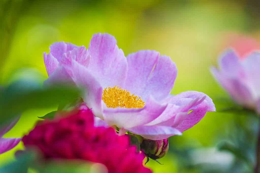 牡丹花,绽开它的笑脸_图1-21