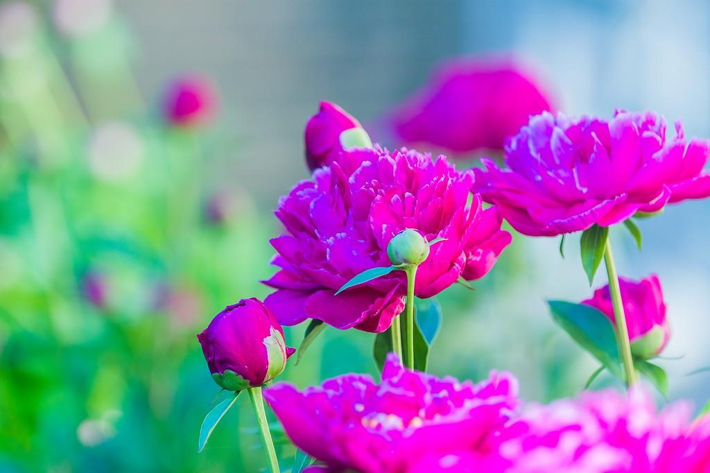 牡丹花,绽开它的笑脸_图1-22
