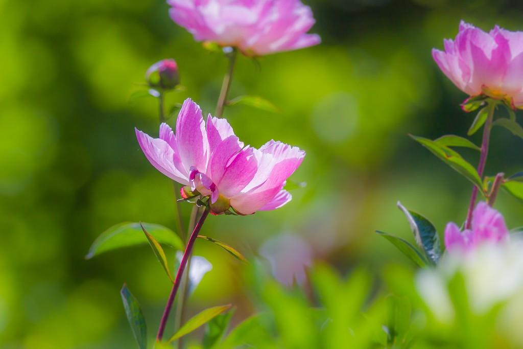 牡丹花,绽开它的笑脸_图1-23