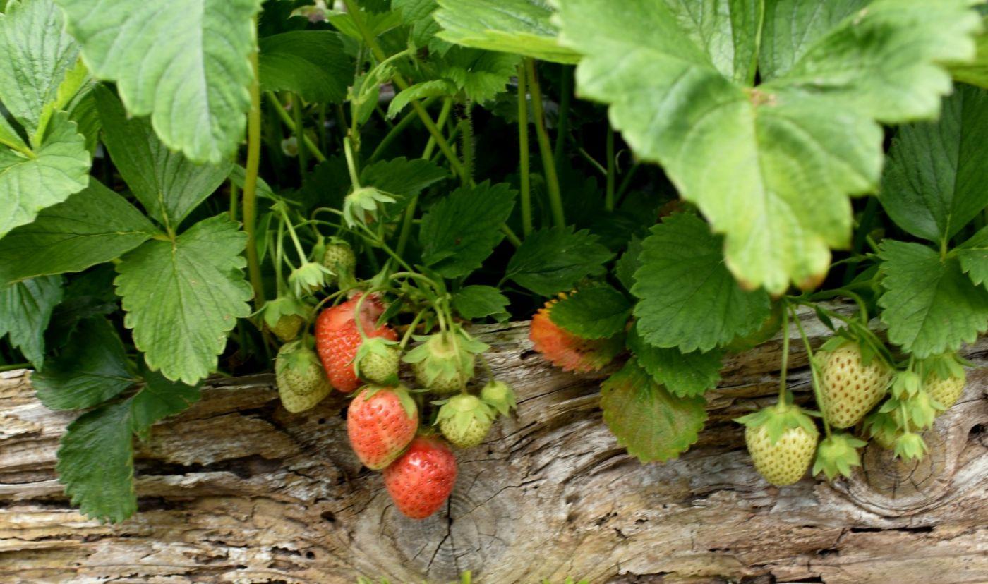 草莓开花_图1-21