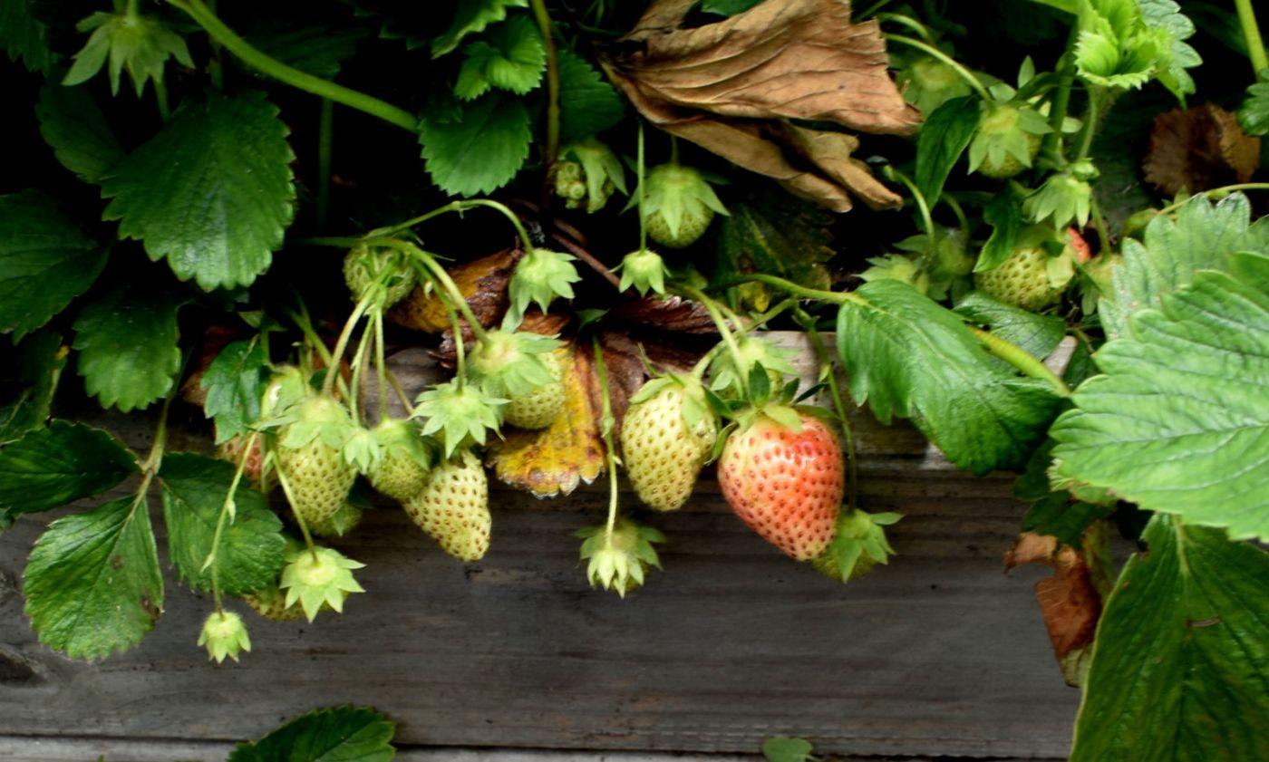 草莓开花_图1-22